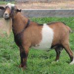 Goat Name & Stud