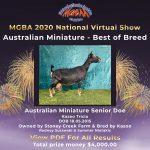Best in Breed Australian Miniature MGBA Virtual Show 2020