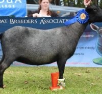 2015 SUP ADULT GOAT IN SHOW - Bouncing Hooves Jewel