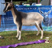 2016 Red Hill Show CH Nigerian Dwarf Jnr Wether - First Fleet Ned 100%
